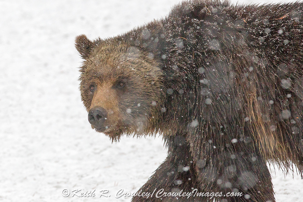 Close-up of Grizzly bear walking in snowstorm.