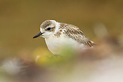 The New Zealand Dotterel is an endangered species.