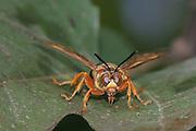 Sphecius speciosus<br /> NJ, Cape May