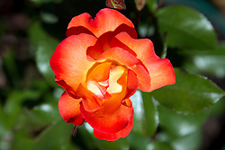 orange rose in bloom