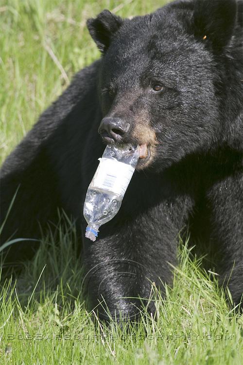 Black Bear with plastic bottle,  Ursus americanus