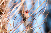 Middle of February a male House Finch sits on a bare branch on a sunny day.