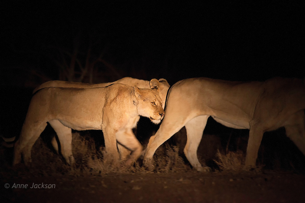 Lions prowling at night