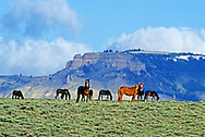 Wild horses with Oregon Buttes in the background. Red Desert in the Great Divide Basin, Wyoming