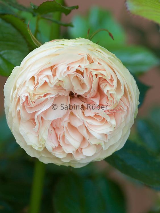 Rosa 'Pierre de Ronsard' - climbing rose