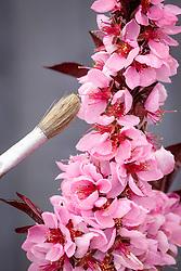 Pollinating a dwarf peach tree with a paintbrush - Peach 'Crimson Bonfire'