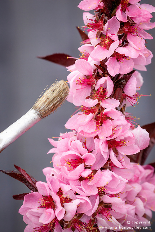 Pollinating a dwarf peach tree with a paintbrush - Peach 'Crimson Bonfire'