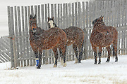 Horsesby fence  in winter storm<br /> near Maple Creek<br /> Saskatchewan<br /> Canada