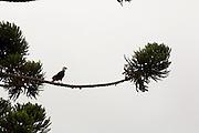 Munhoz_MG, Brasil...Gaviao no galho de uma Araucaria...Kestrel on the Araucaria branch...Foto: LEO DRUMOND / NITRO