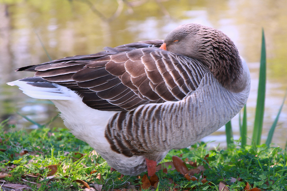 Sleeping Goose, City Park, New Orleans