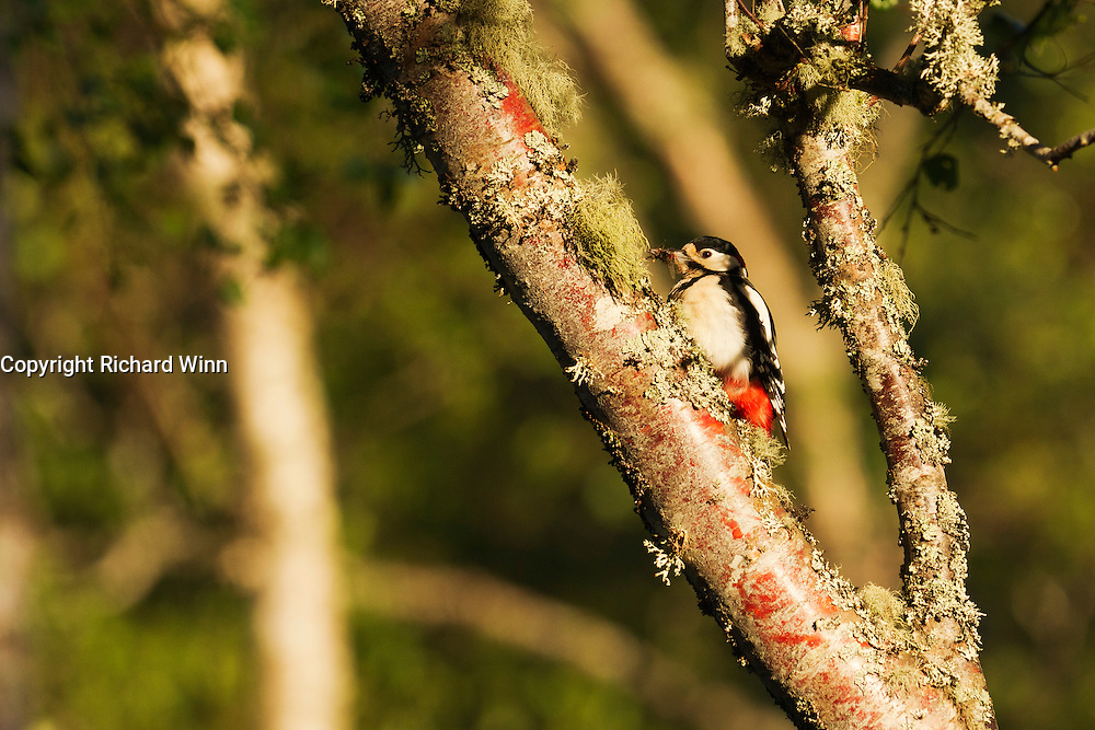 Male great spotted woodpecker in a tree, with some large red damselflies ready to feed fledlings.