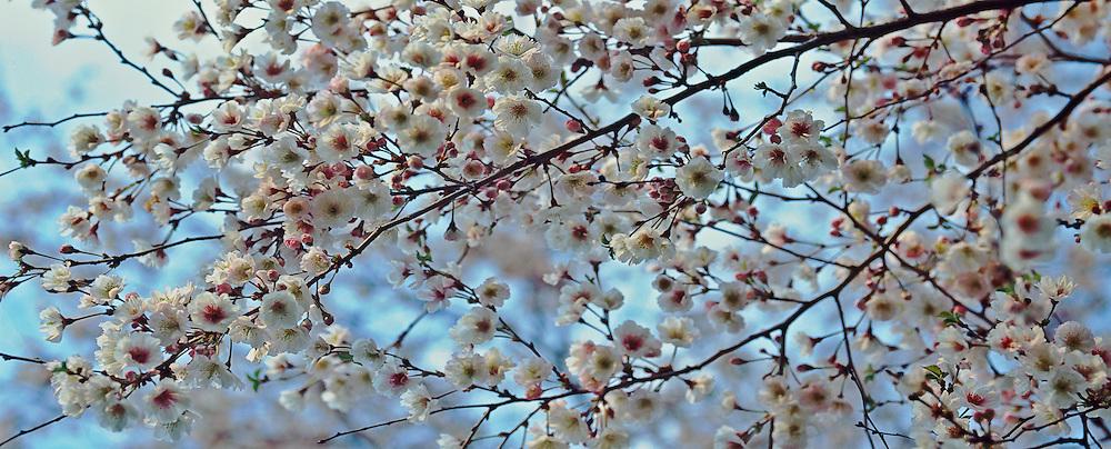 RAJS_070319010 Cherry Blossoms, Brooklyn Botanic Garden, Brooklyn, New York Cherry Blossom book Page 54-55