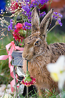 Brown Hare, Lepus europaeus, eating carnation at grave in cemetery