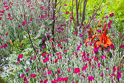 Lychnis coronaria (rose campion) with Lilium 'Fire King', Rhodochiton atrosanguineus and Tanacetum vulgare 'Isla Gold'