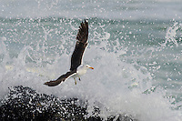 A Kelp Gulls feeds on a small rocky outcrop and between massive breaking waves, West Coast National Park, Western Cape, South Africa