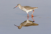 Common Redshank (Tringa totanus) with perfect reflection wading in the water. Israel October 2007