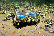Zebra Mussels on beer can<br /> <br /> Engbretson Underwater Photography