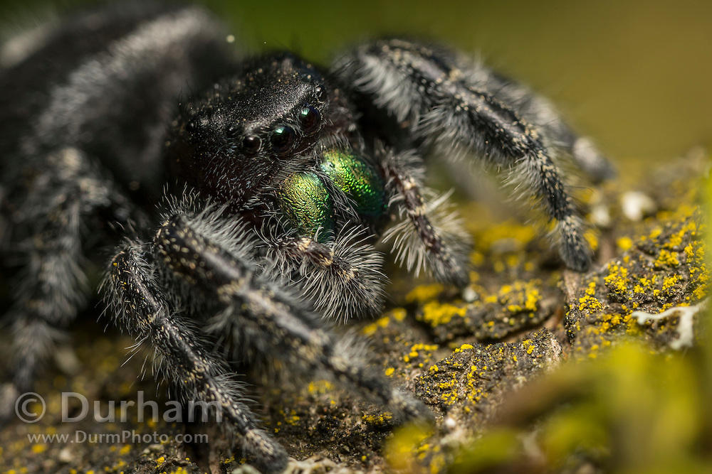 Female bold jumping spider (Phidippus audax) in northern Oregon.