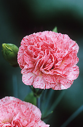 Dianthus 'Strawberries & Cream'- Carnation, Pink