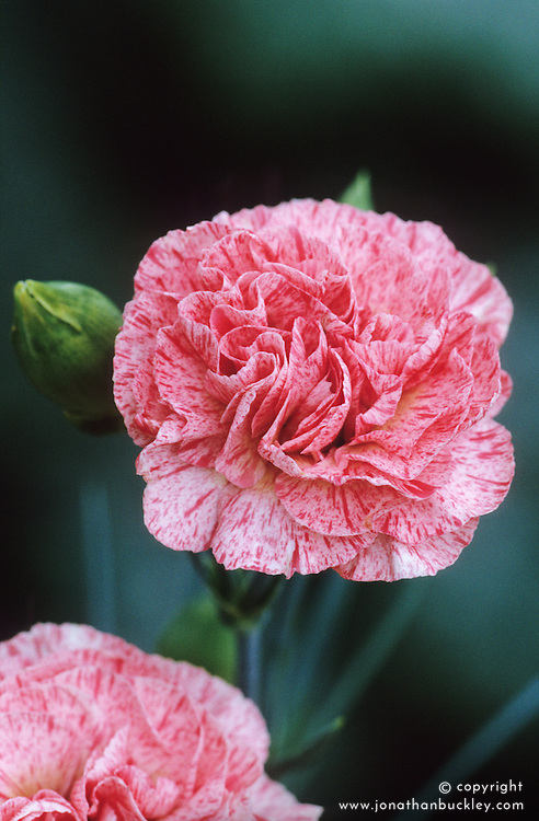 Dianthus 'Strawberries & Cream'- Carnation, Pink