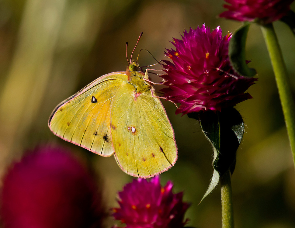 A small yellow butterfly near the Cherry Blossom Grove.