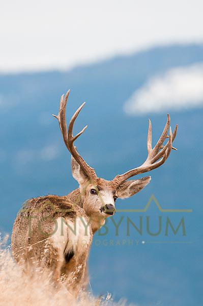 trophy mule deer buck on ridge looking back blue mountain background