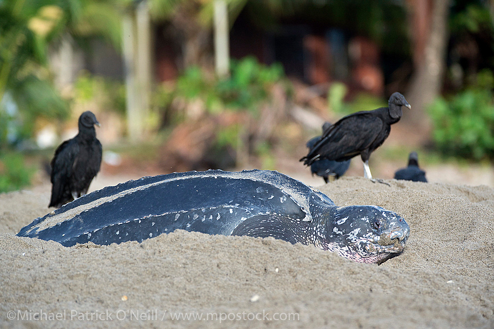 A female Leatherback Sea Turtle, Dermochelys coriacea, nests in early morning in Grande Riviere, Trinidad, while Black vultures, Coragyps atratus, look on. The scavengers arrive at the beach at daybreak and prey on hatchlings making their way to the ocean.