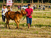 17 FEBRUARY 2018 - BAN LOT, PHETCHABURI, THAILAND: A man walks his racing ox to the starting line in Ban Lat, a community about three hours south of Bangkok. The ox cart races are almost 100 years old, and date back to the reign of King Rama V. The races are run on a 100 meter long straightaway course.   PHOTO BY JACK KURTZ