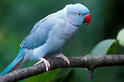 A blue phase of the normally green rose-ringed parrot (Psittacula krameri) female. Range: Sub-saharan Africa to India, Burma.