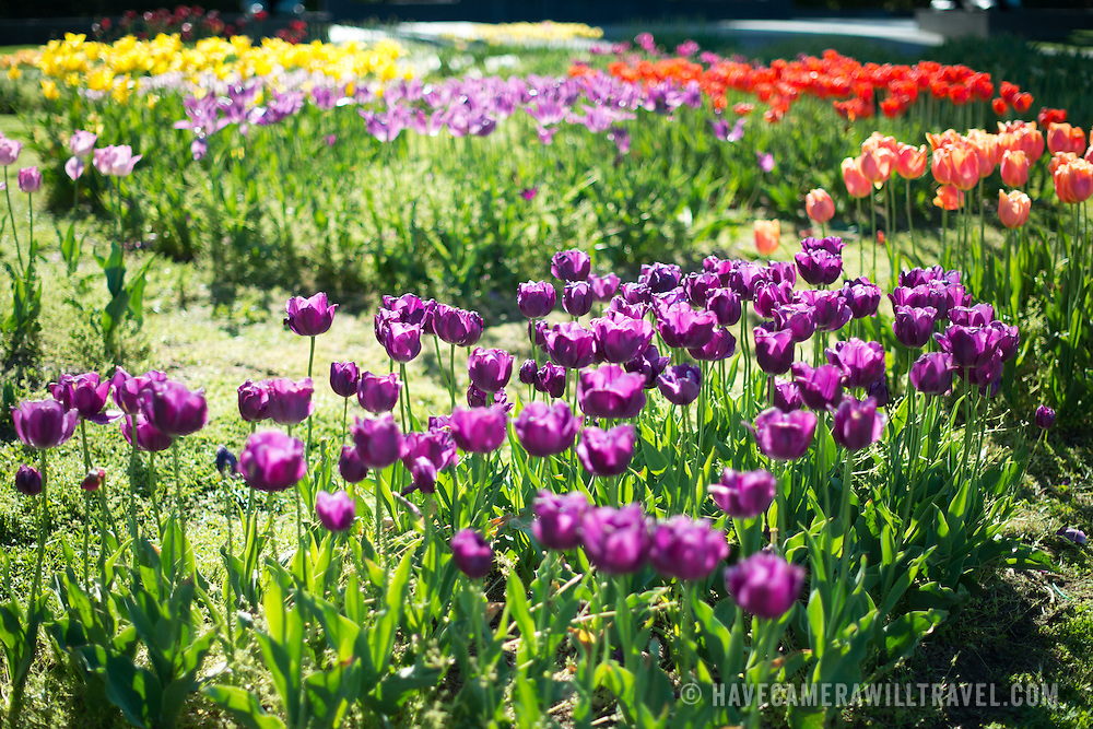 Tulip garden at the Netherlands Carillon next to Arlington National Cemetery and the Iwo Jima Memorial. First donated in 1954, the Carillon was moved to its current location in 1960. It was a gift of the Netherlands to the United States in thanks for US aid during World War II.