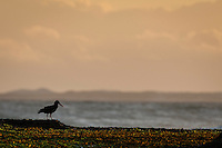 An African Black Oystercatcher searches for food on the exposed intertidal rock flats at sunset, De Hoop Marine Protected Area, Western Cape, South Africa