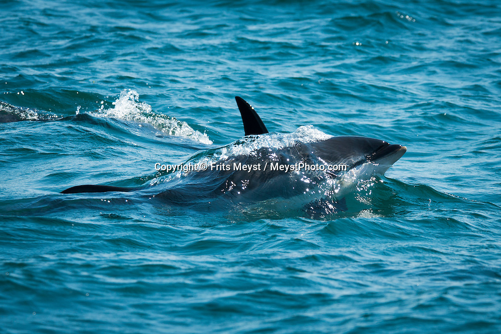 """Freeport, Digby Neck, Nova Scotia, Canada, August 2014. dolphins during a Whale watching tour in the Bay of Fundy with Freeport Whale & seabird tours. Nova Scotia was one of the original four provinces that became part of Canada in 1867.  """"Nova Scotia"""" is Latin for """"New Scotland"""", and Scottish settlers brought culture and traditions that continue to this day. Photo by Frits Meyst / MeystPhoto.com"""