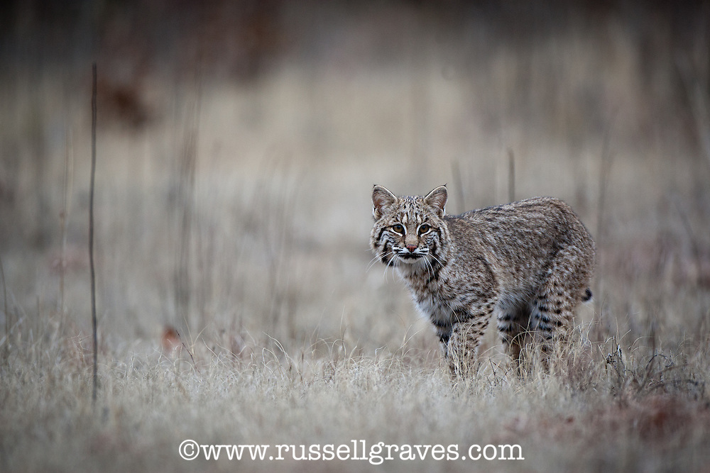FEMALE BOBCAT