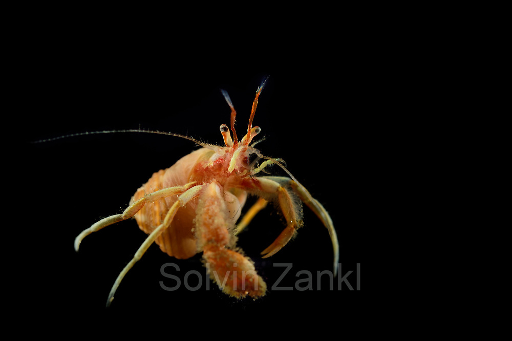 Hermit crab (Paguridae sp.) Central equatorial Atlantic Ocean, Saint Peter and Saint Paul Archipelago, Brazil #STP17 [first published through bioGraphic, a program of the California Academy of Sciences] |