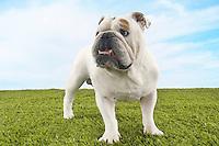 Bulldog standing