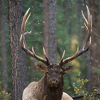 bull elk fall colors bedded snowing