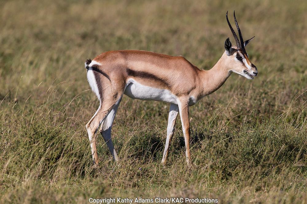 Thomson's gazelle, Eudorac thomsonii, male with alters, Ngorongoro Conservation Area, Tanzania, Africa.
