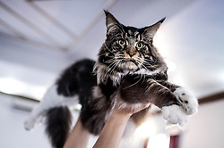 July 26, 2018 - Sao Paulo, Brazil - The cat exhibit at Clube do Gato, with 250 cats from 21 different breeds. (Credit Image: © Cris Faga via ZUMA Wire)