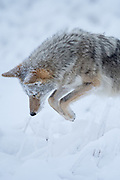 A coyote (Canis latrans) pounces on a vole in the snow, North America