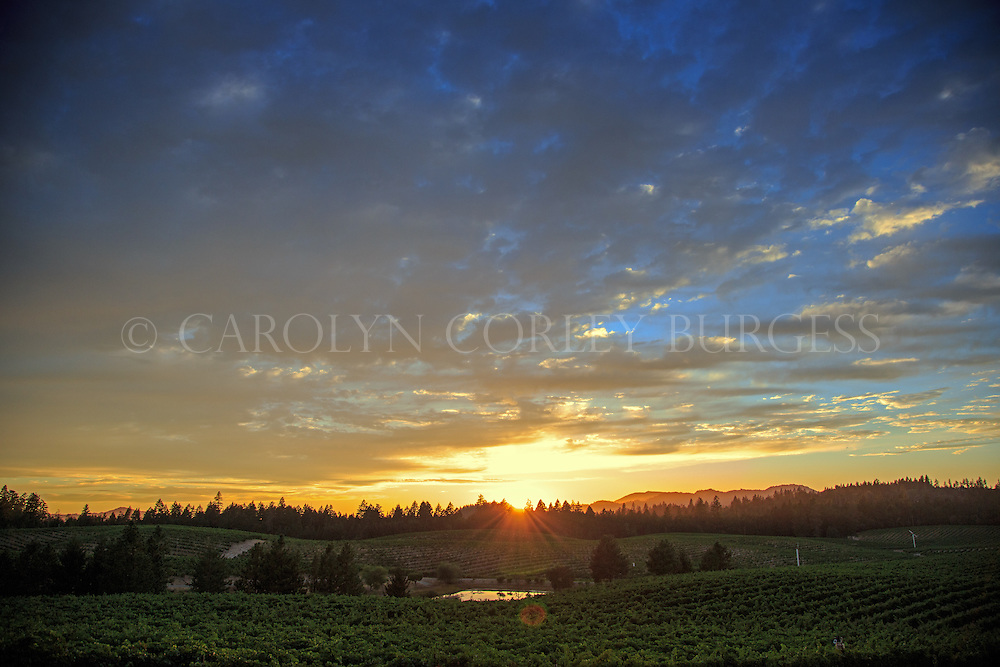 sunset at bancroft ranch vineyard on howell mountain in napa valley, california.