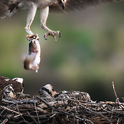 An adult osprey brings a rainbow trout into the nest from Sweet Water Creek in Sweet Water Colorado.