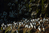 21.05.2008.Common guillemot (Uria aalge) colony.Seabird cliff.Langanes peninsula.Iceland