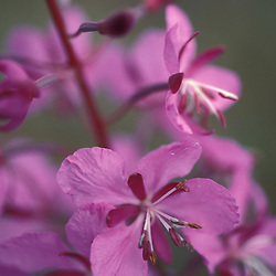 Tok, AK.  Fireweed, Eplilbium angustifolium, helps define Alaska in summertime.