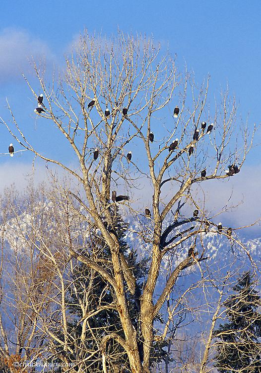 Treeful of bald eagles near Hamilton Montana