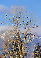 Treeful of bald eagles near Hamilton Montana