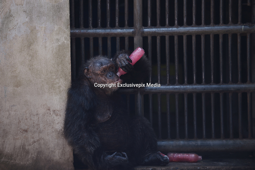March 17, 2016 - Bangkok, thailand - <br /> <br /> A chimpanzee enjoys a bottle of frozen juice on a hot summer day at Dusit Zoo, know as Khao Din in Bangkok, Thailand on March 17, 2016.<br /> ©Exclusivepix Media