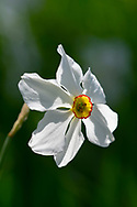 A close-up of Narcissus poeticus (Pheasant's Eye Narcissus)