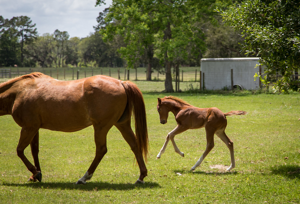 A mare and foal walk in a field at Pepper Hall Plantation near Bluffton.
