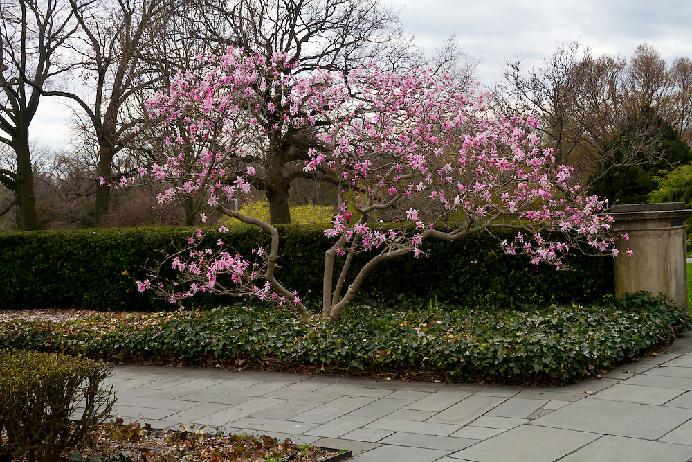 A beautiful cherry tree, an early bloomer in very early Spring of 2013.