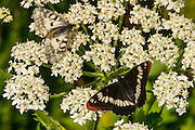 Two butterflies feed on yarrow (Achillea millefolium) along Gold Creek near Snoqualmie Pass. The butterfly at the bottom right is a Lorquin's Admiral (Limenitis lorquini), a butterfly that is widespread in the Pacific Northwest and is typically found near streams. The butterfly at the upper left is a Clodius Parnassian (Parnassius clodius), a butterfly that is found at high altitudes in western North America.